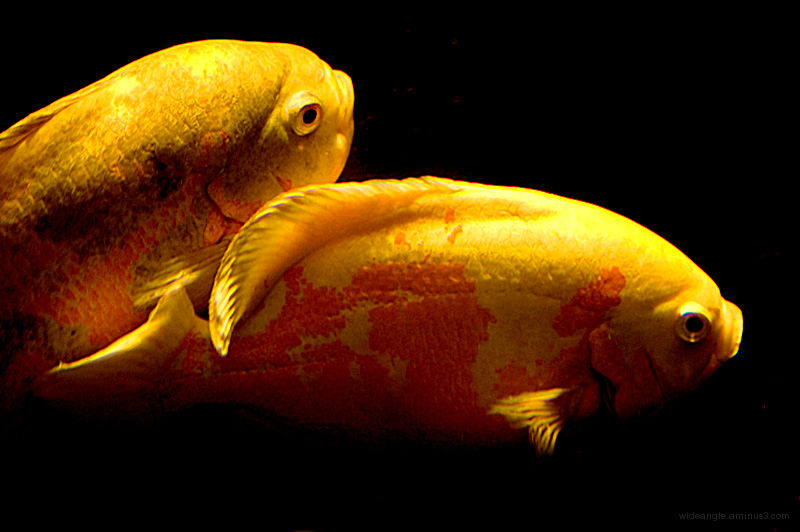 paired fish