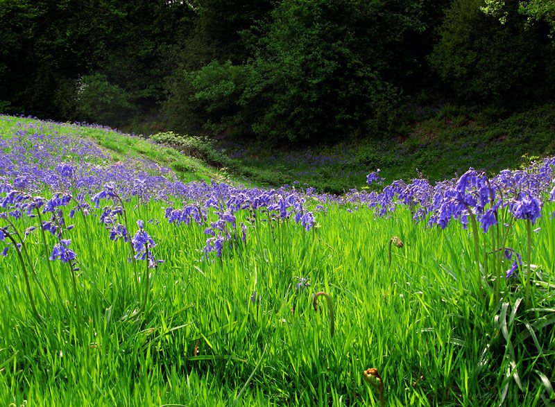 Bluebell Meadow