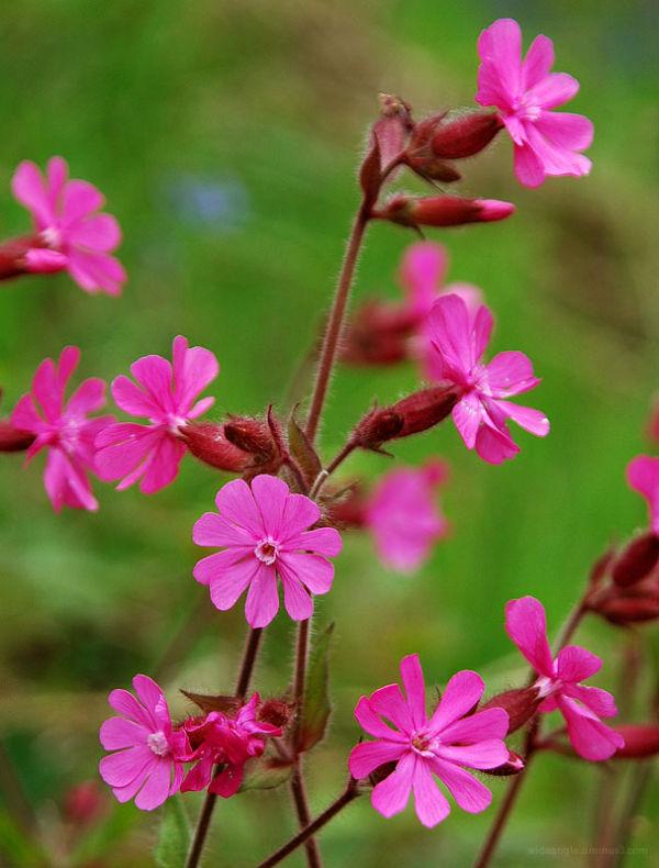 Red_Campion