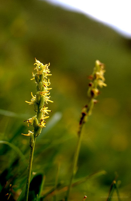Musk Orchid