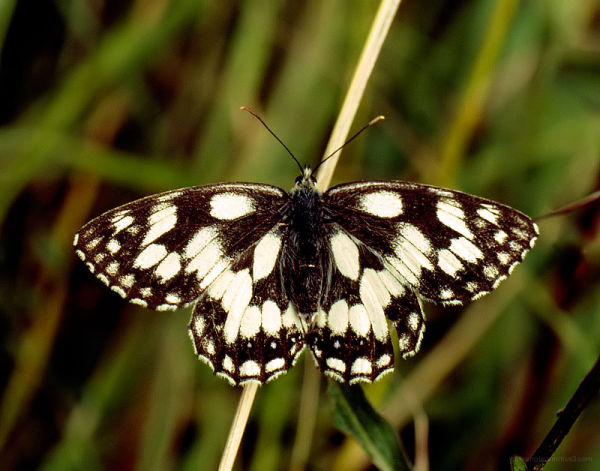 Marbled_White