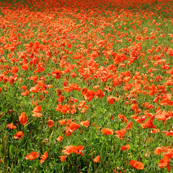 Poppy Invasion