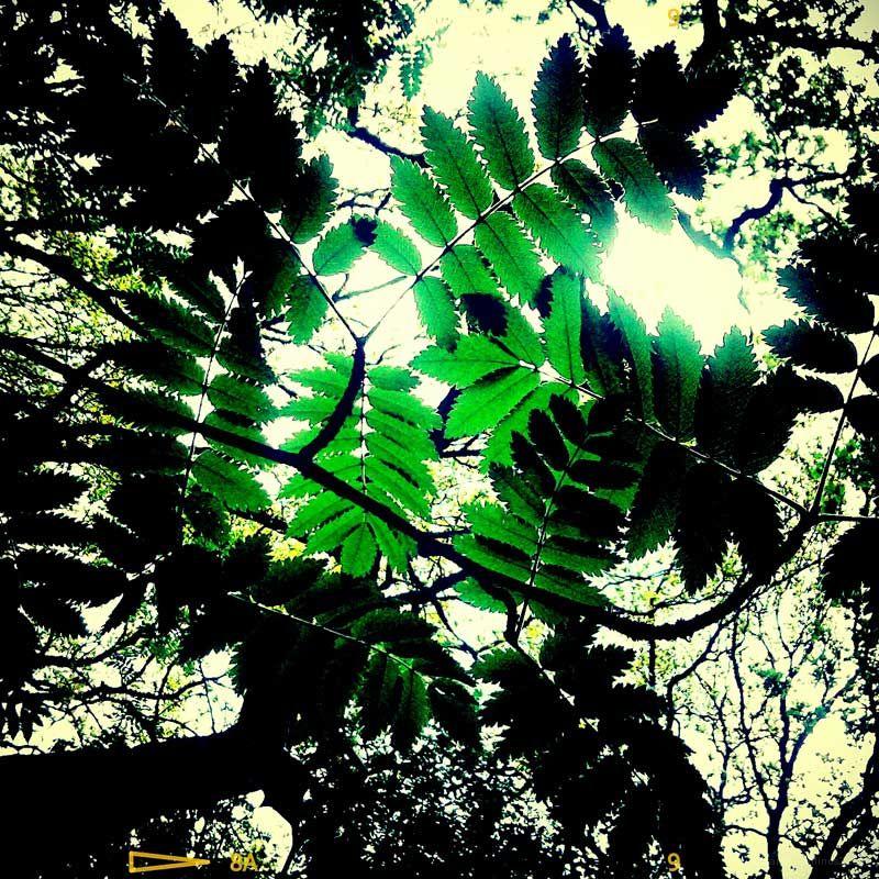 emeral leaf