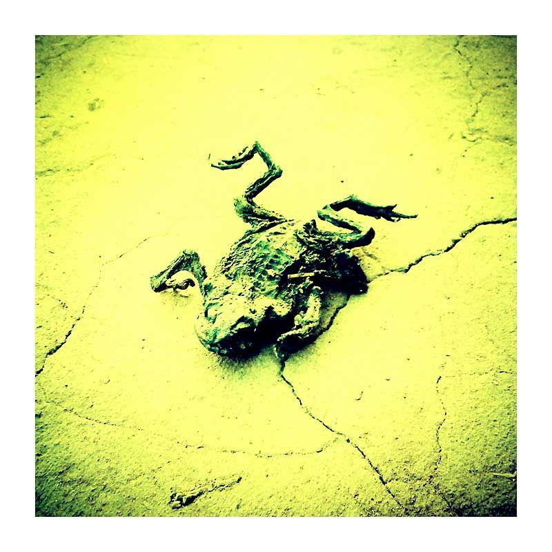squashed frog