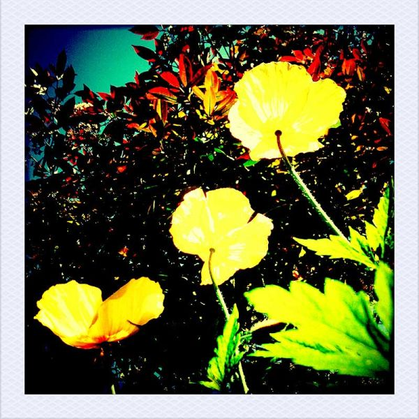 3 Yellow Poppies