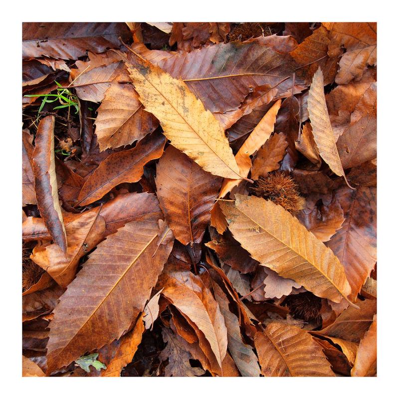 chestnut leaves