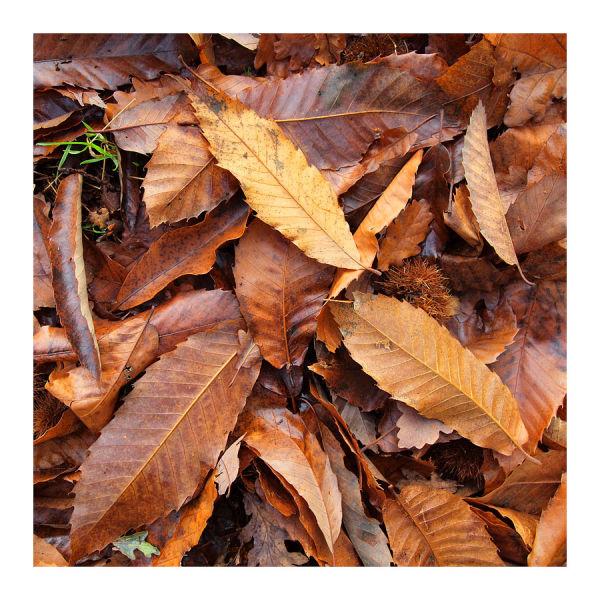 Chestnut Leaves in November