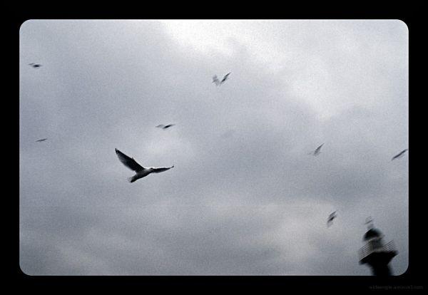 Wheeling Gulls