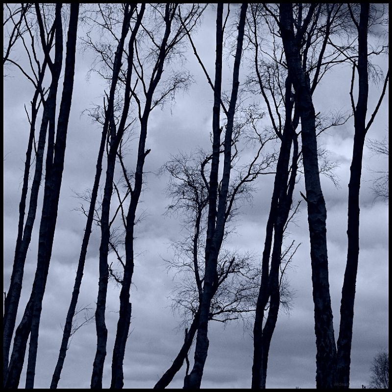 birch trees on a hill edge