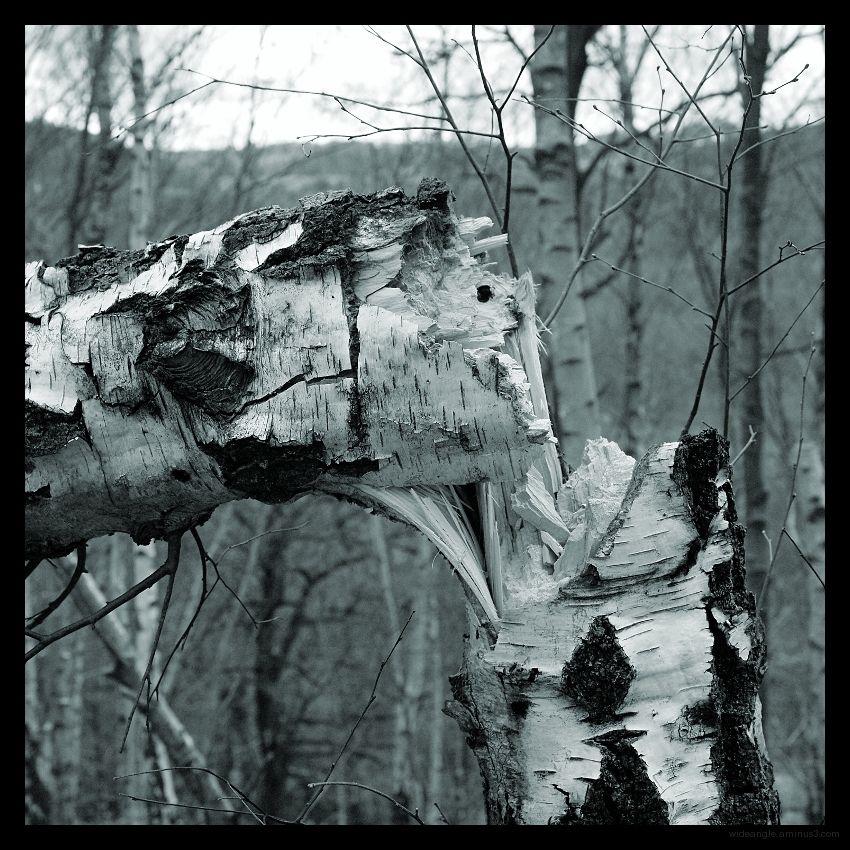 snapped silver birch