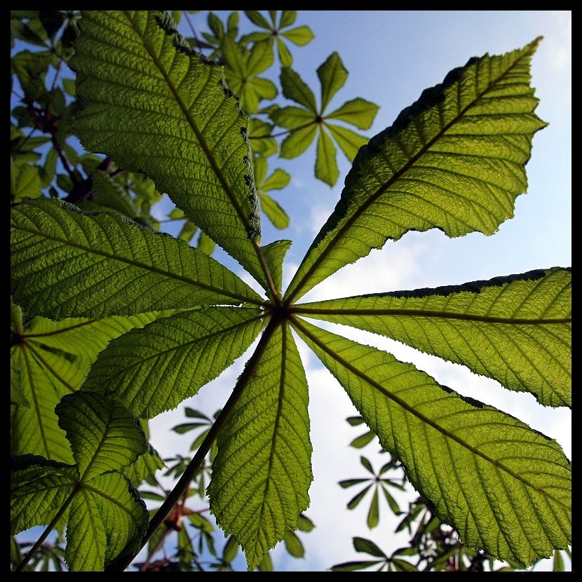 horse chestnut leaves wave to the sky