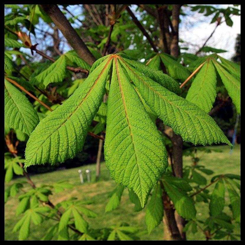 horse chestnut leaves in april