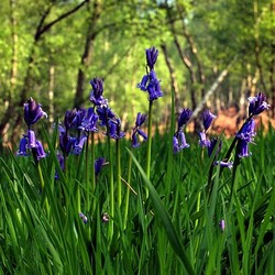 bluebells in the woods now