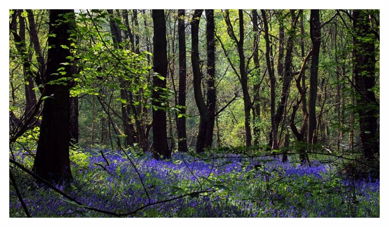 bluebells in crich chase