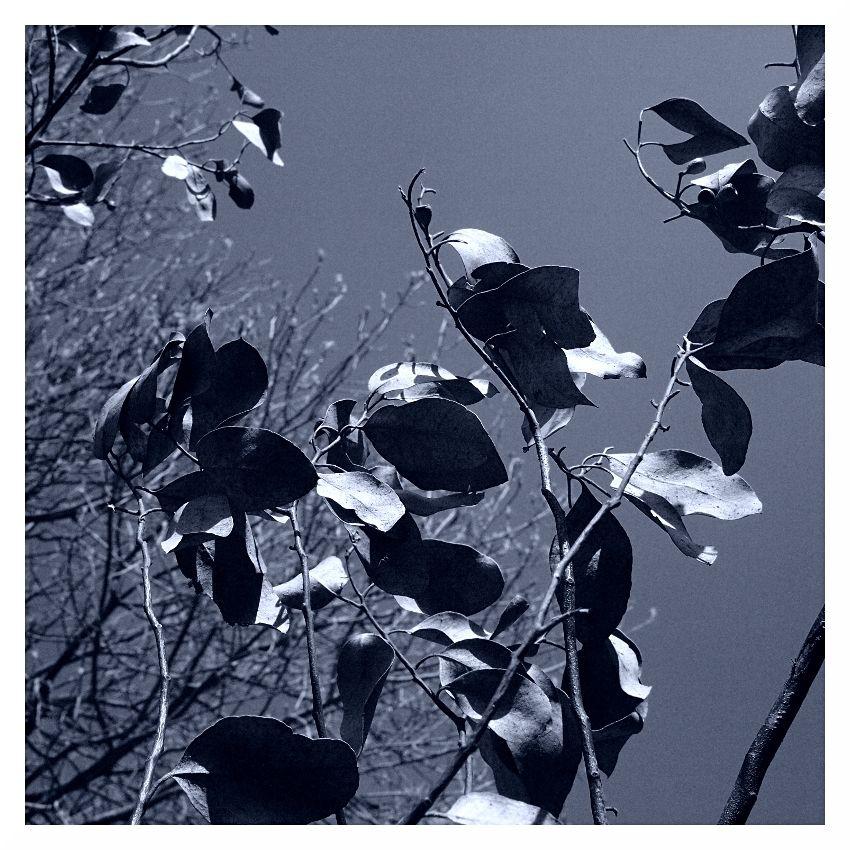dead eucalyptus tree winter sad died in my garden
