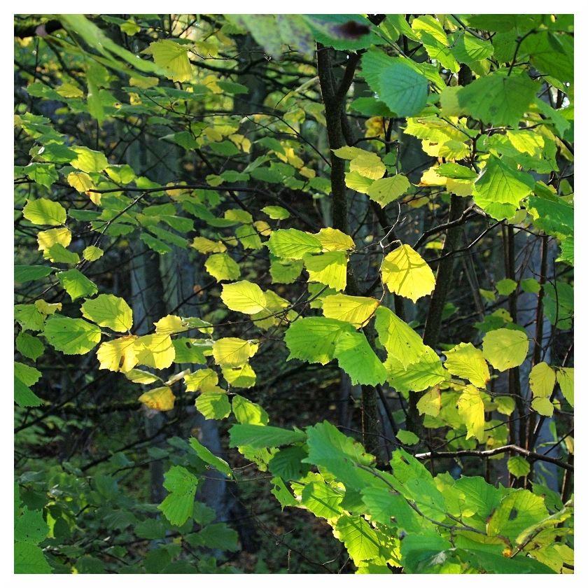 green yellow leaves