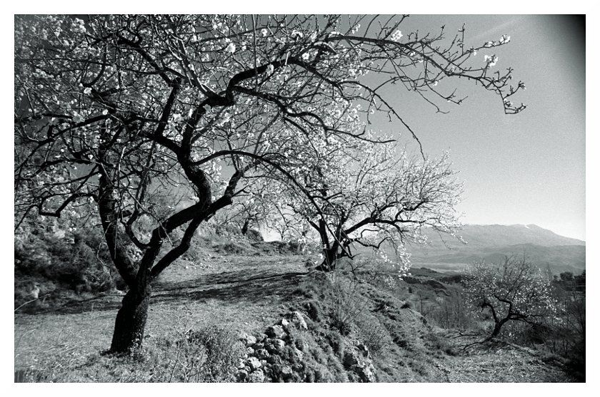 almond trees in blossom, spain