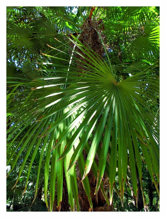 summer palm tree seville