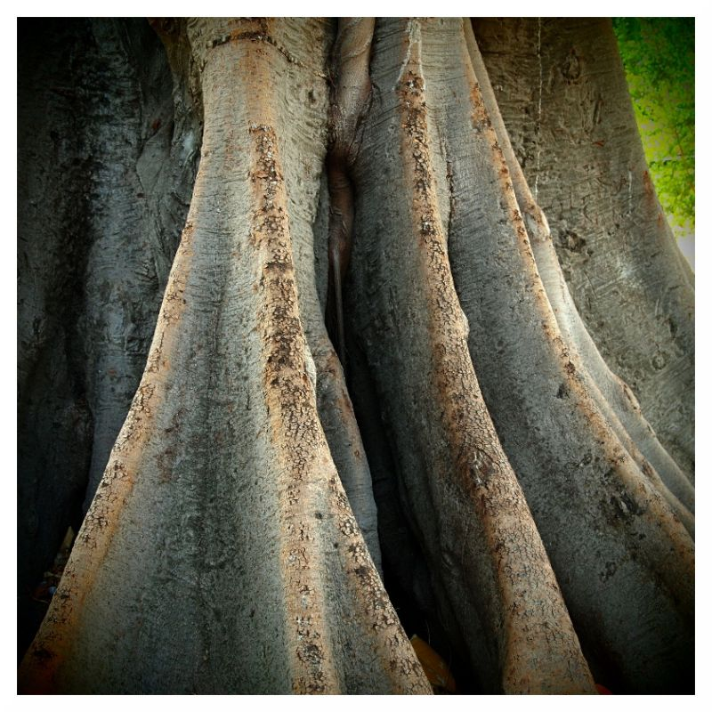 buttress trunk jungle tree  seville