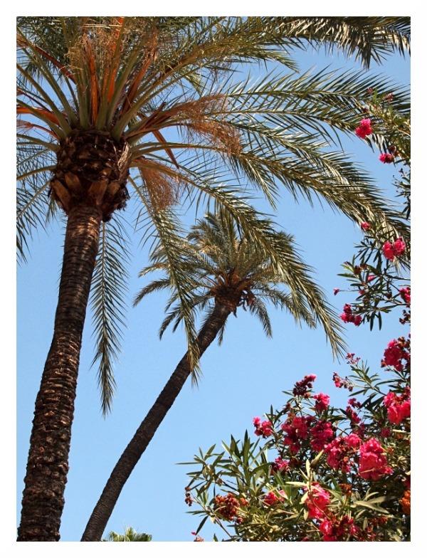 palms oleander blue sky hot