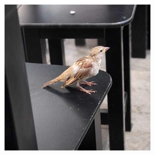 sparrow spanish seville