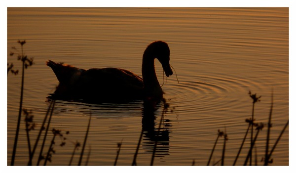 goose river trent sunset feeding