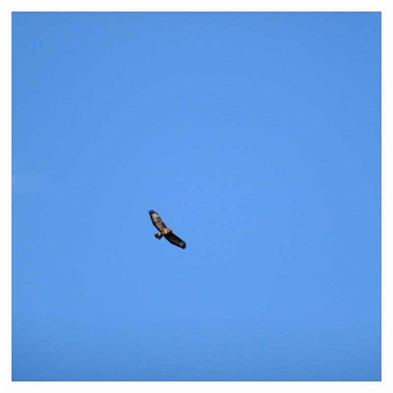 buzzard clear blue sky shardlow