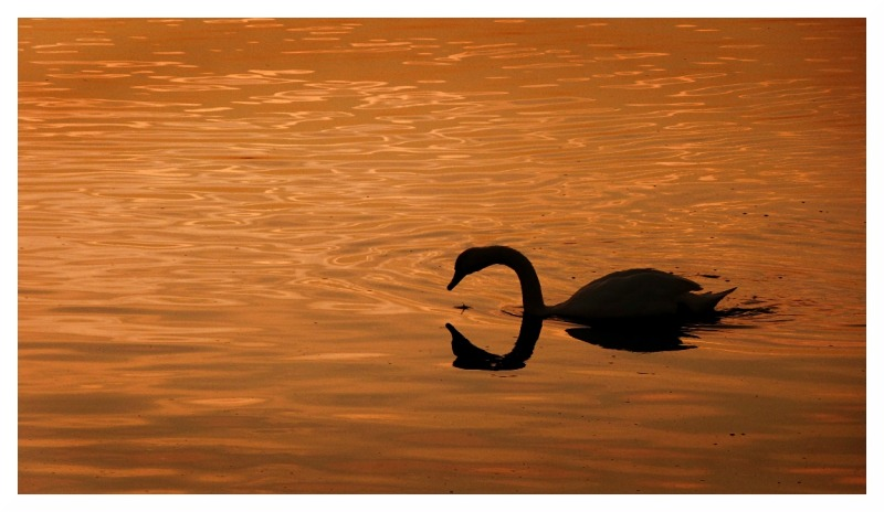 swan sunset river trent