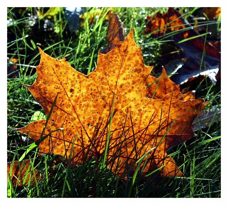maple autumn mottled november