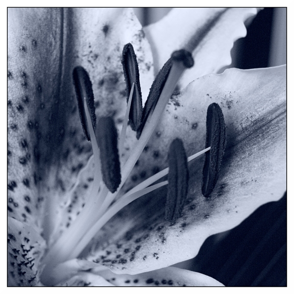 Monochrome Lily at 1600