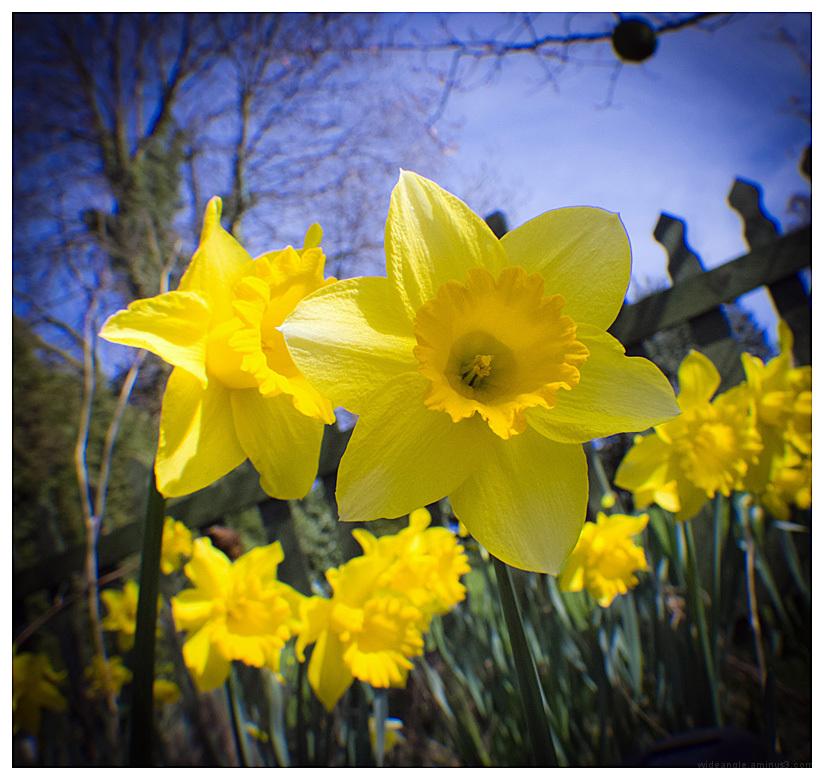 daffodil season belper garden