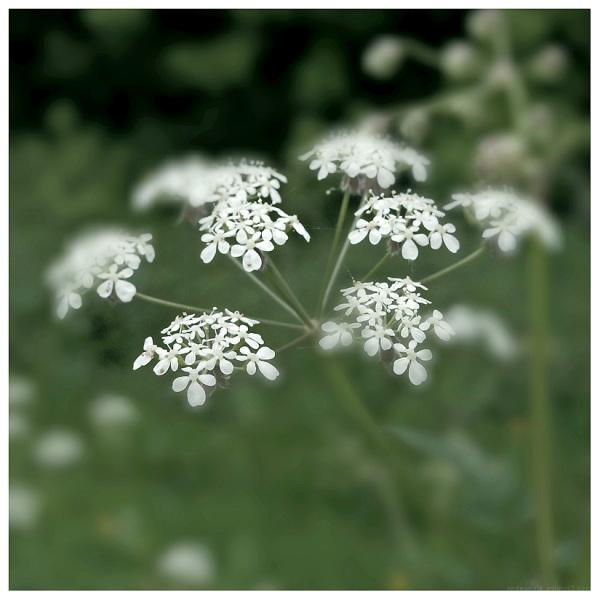 umbellifer flower pretty white petals