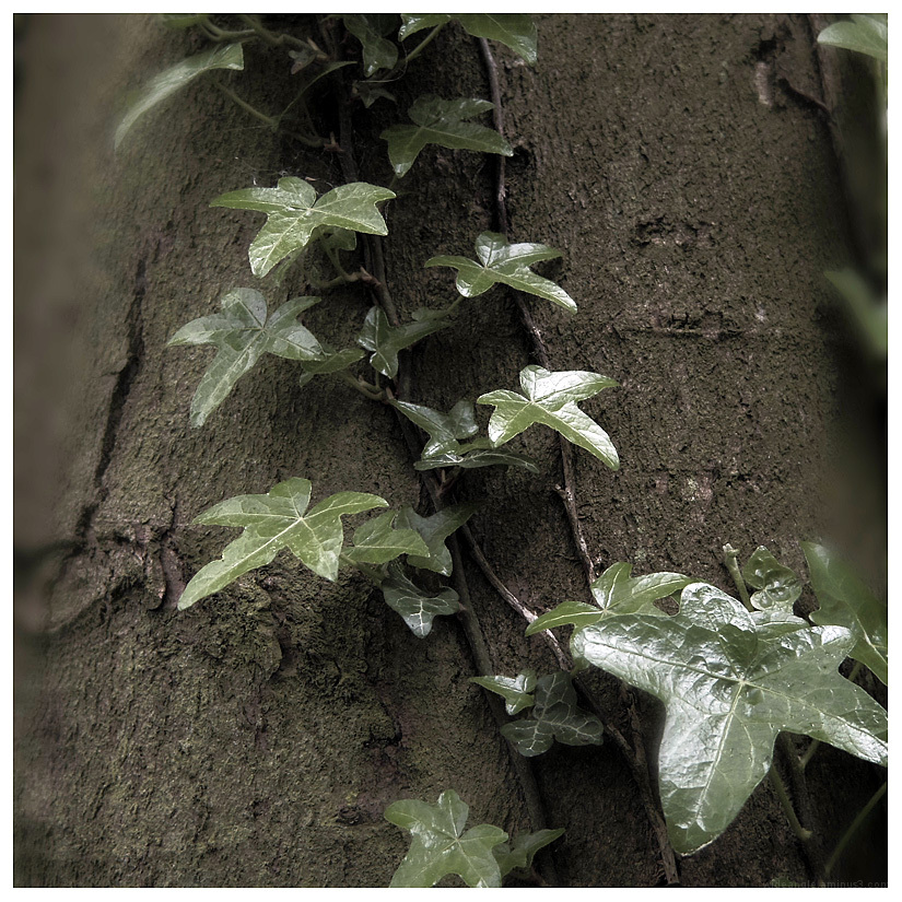 ivy tree creeping growing leafy green