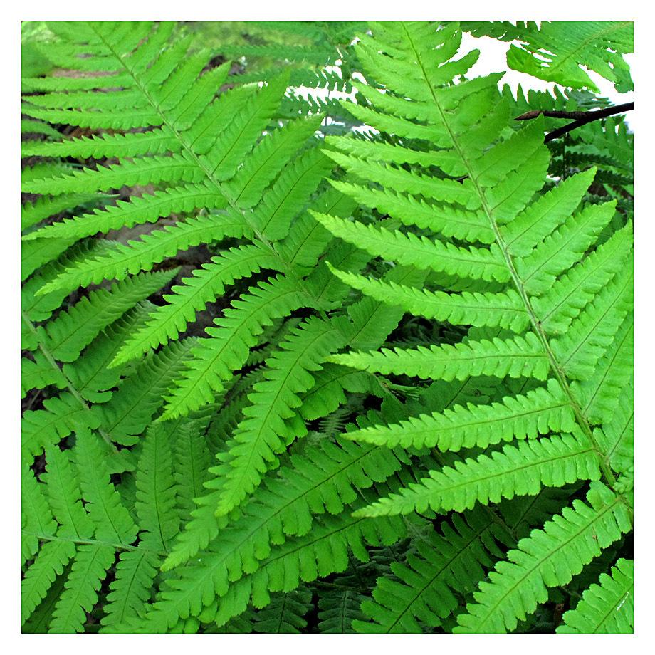 ferns lumsdale derbyshire green
