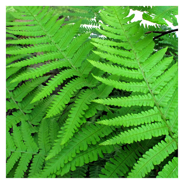 Ferns Softly