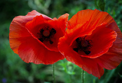 Poppies Red Two
