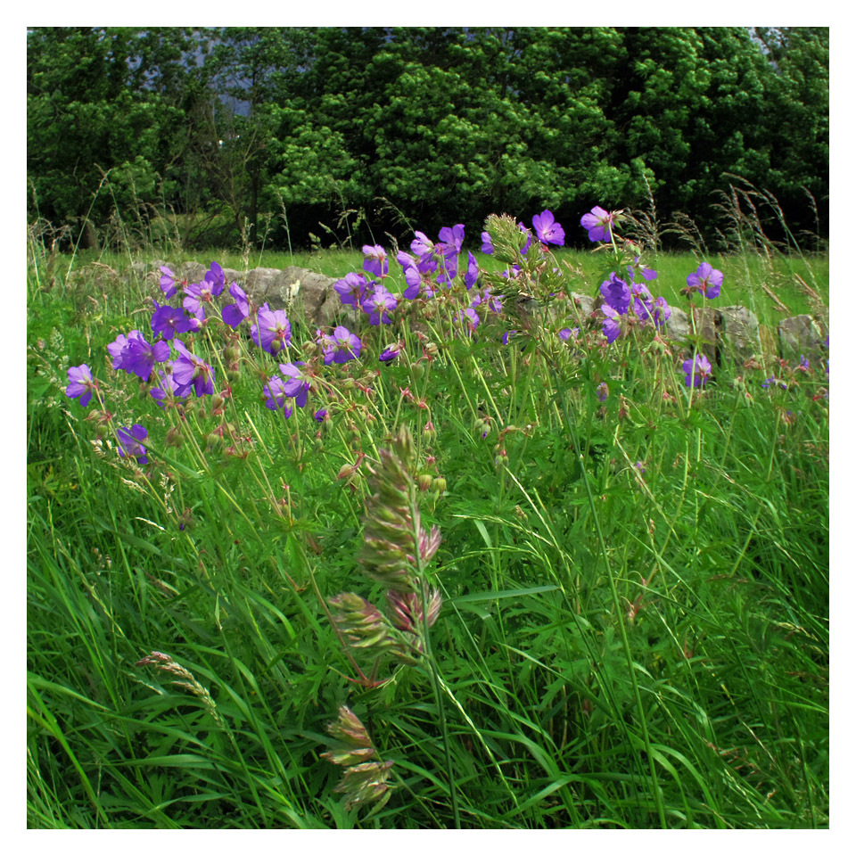 purple summer flowers meadow windy