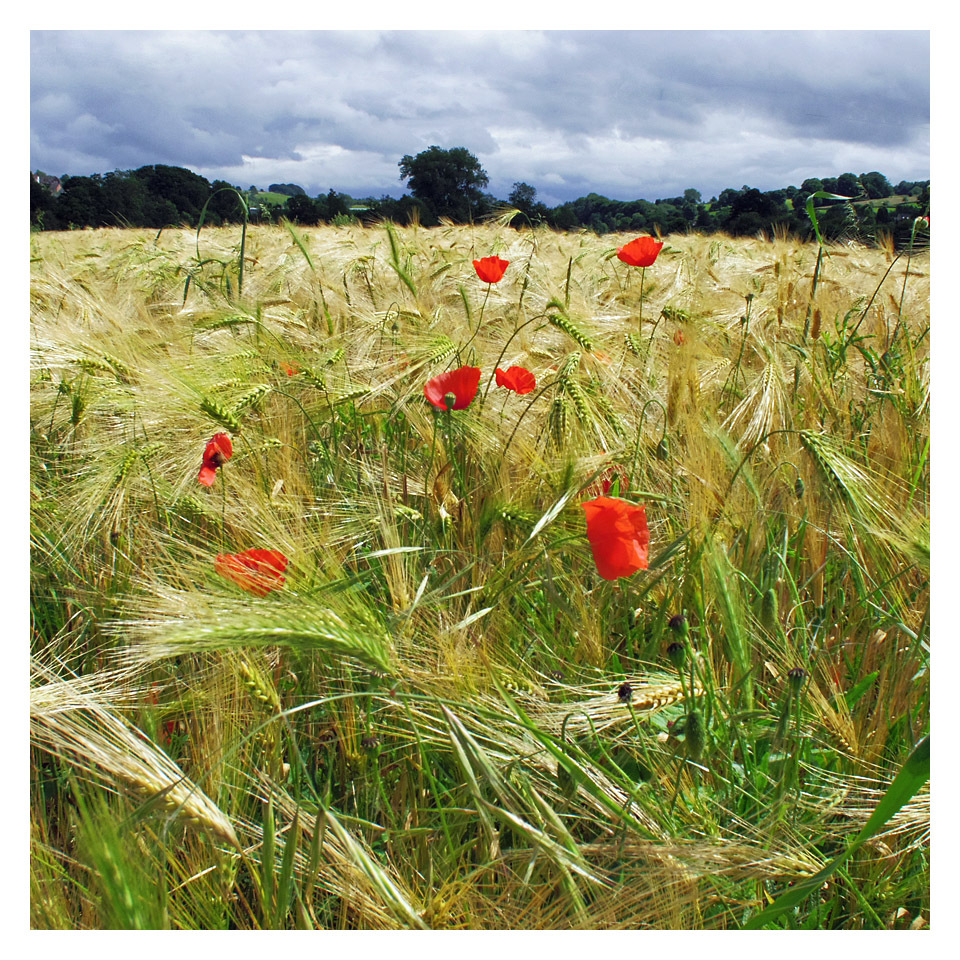 Poppy Colour Wheat