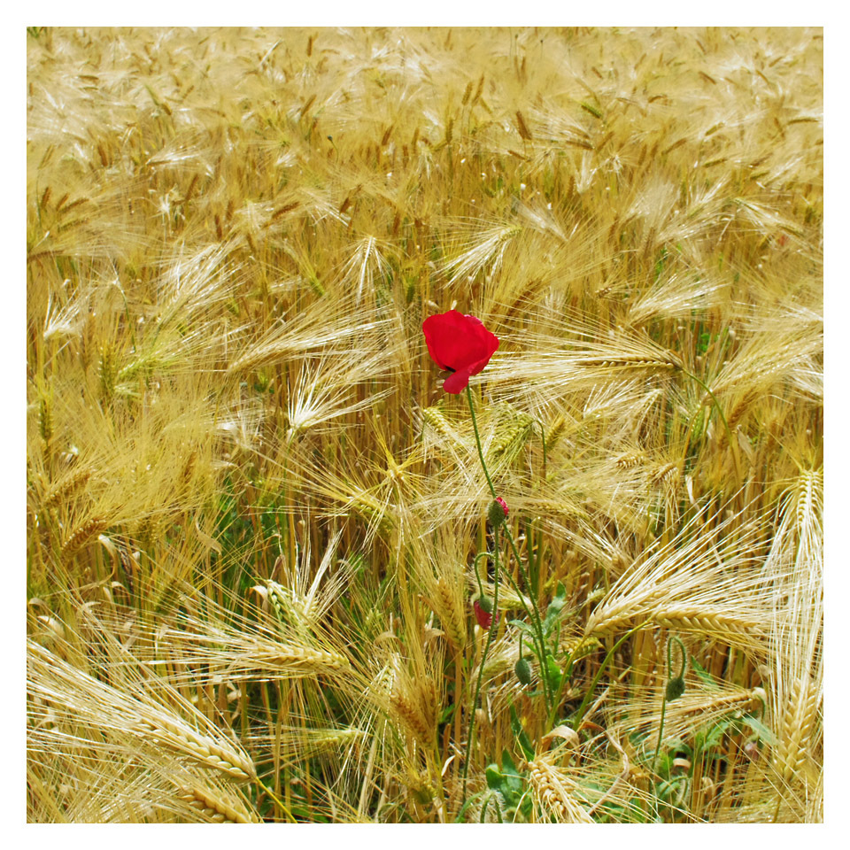 single Poppy Wheat Field