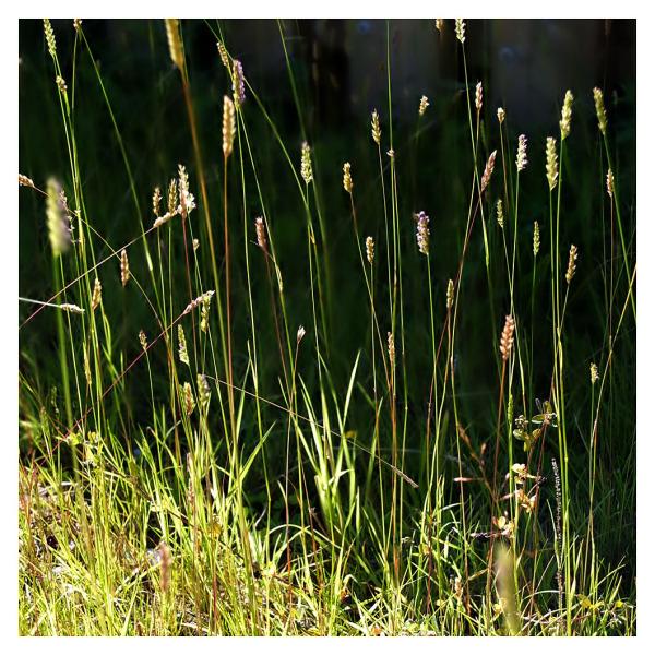 Pretty Grasses