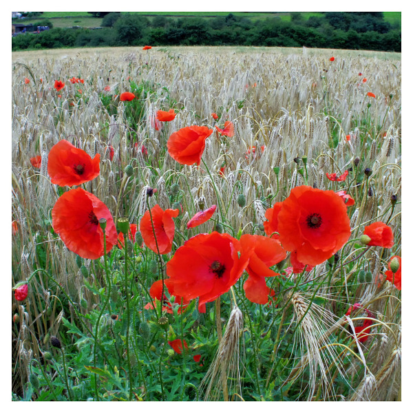 late summer poppies