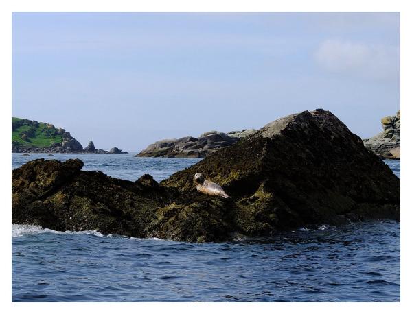 atlantic grey seal eastern isles scilly isles
