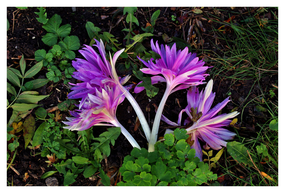 autumn crocus fallen beauty