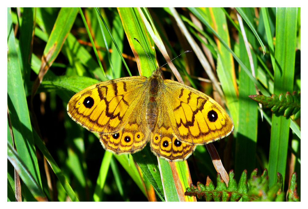 wall brown butterfly wales