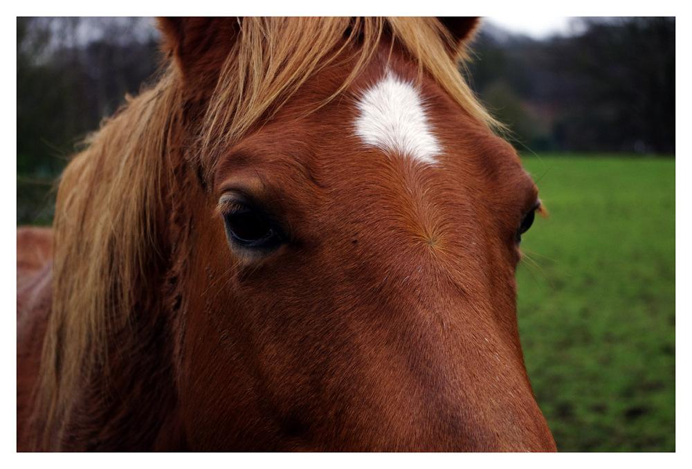horse brown head field