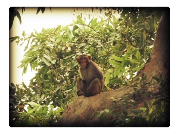 Tree dweller ape macaque monkey india delhi