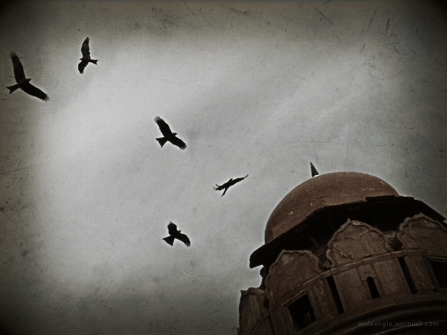 Black Kites Red Fort Delhi India