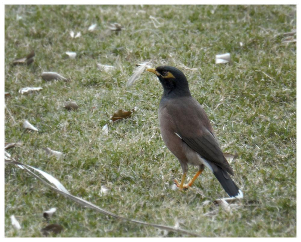 mynah bird new delhi