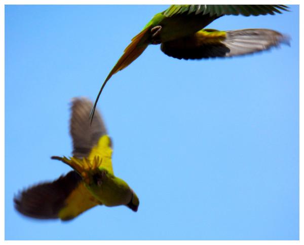 flying parrots green yellow blue new delhi