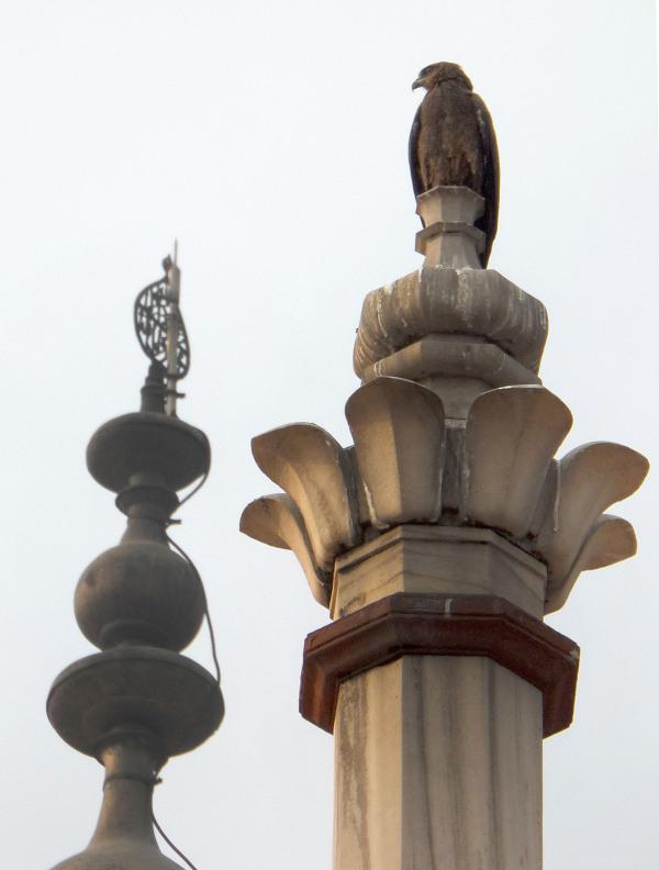 birds prey eagles kites buzzards delhi
